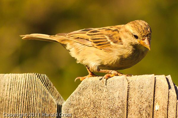 A Clay-colored Sparrow taken Aug. 30, 2011 in Fruita, CO.