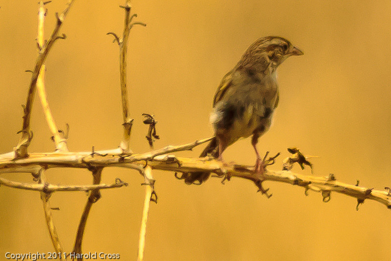 A Clay-colored Sparrow taken July 17, 2011 near Kenna, NM.