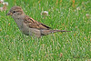 A Clay-colored Sparrow taken Jun 13, 2010 in Grand Junction, CO.