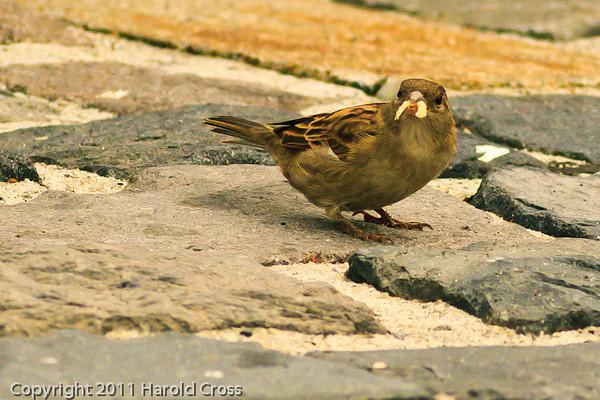 A Clay-colored Sparrow taken Sep. 26, 2011 in San Francisco, CA.