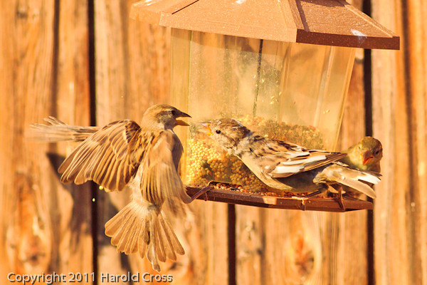A Clay-colored Sparrow with an unidentified bird  taken Sep. 13, 2011 in Fruita, CO.