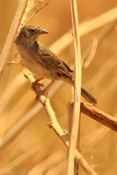 A Clay-colored Sparrow taken July 3, 2011 near Portales, NM.