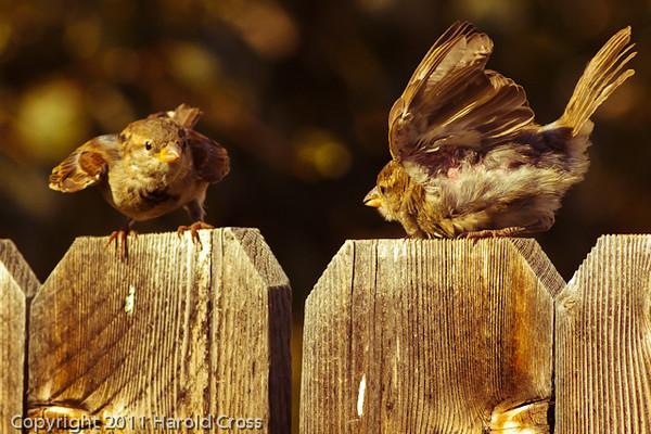 Clay-colored Sparrows  taken Sep. 7, 2011 near Fruita, CO.