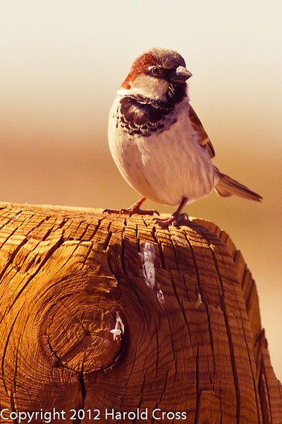 A House Sparrow taken Jan. 31, 2012 near Socorro, NM.