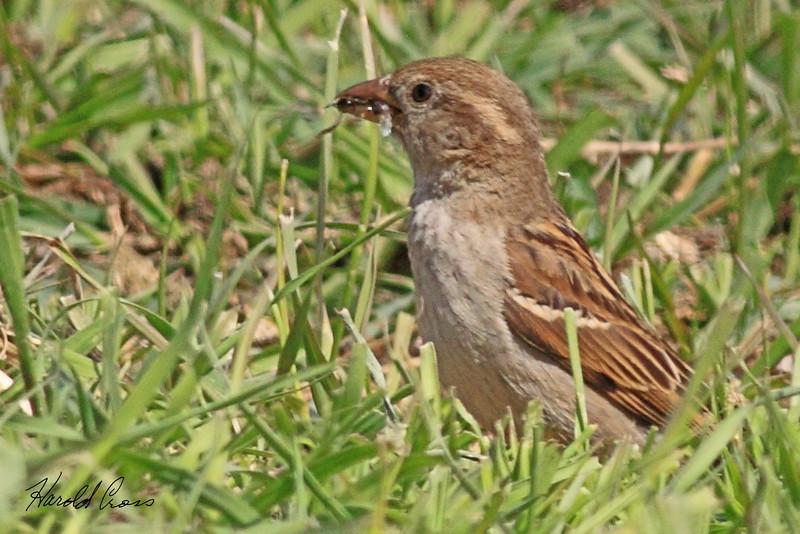 A House Sparrow taken May 24, 2010 near Bozeman, MT.
