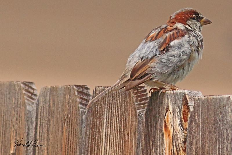 A House Sparrow taken Sep 9, 2010 near Fruita, CO.