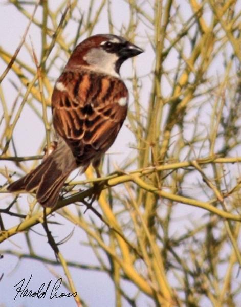A House Sparrow taken Feb 1, 2010 in Phoenix, AZ.