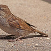 A House Sparrow taken Jun 7, 2010 near Fruita, CO.