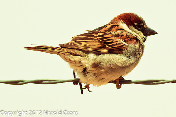 A House Sparrow taken April 28, 2012 near Portales, NM.