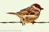 A House Sparrow taken April 28, 2012 near Portales, NM.