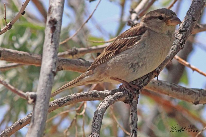 A House Sparrow taken Jun 1, 2010 east of Greenriver,  UT.