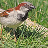 A House Sparrow taken Apr 23, 2010 near Grand Junction, CO.