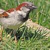 A House Sparrow taken Apr 23, 2010 near Grand Junction, CO.
