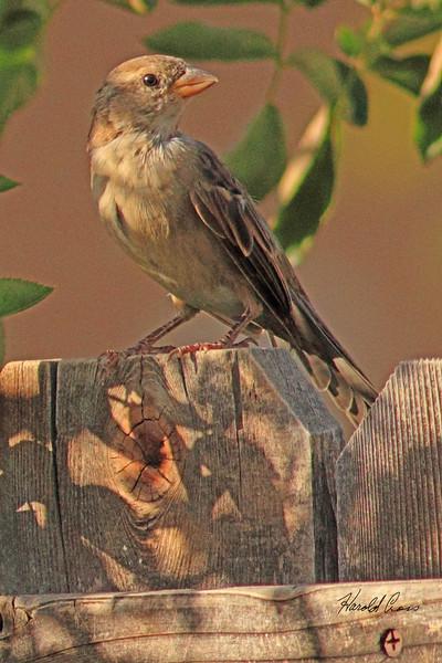 A House Sparrow taken Oct. 11, 2010 near Fruita, CO.