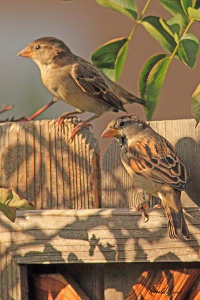 House Sparrows taken Oct. 11, 2010 near Fruita, CO.