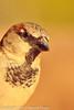 A House Sparrow taken Feb. 6, 2012 in  Tucson, AZ.