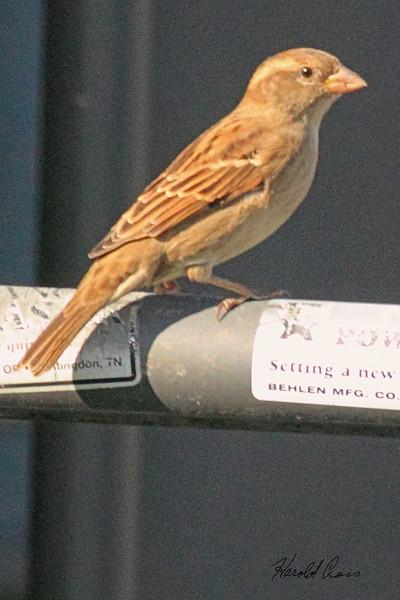 A House Sparrow taken Sep 23, 2010 near Bozeman, MT.