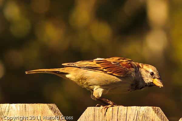 A House Sparrow taken Aug. 30, 2011 in Fruita, CO.