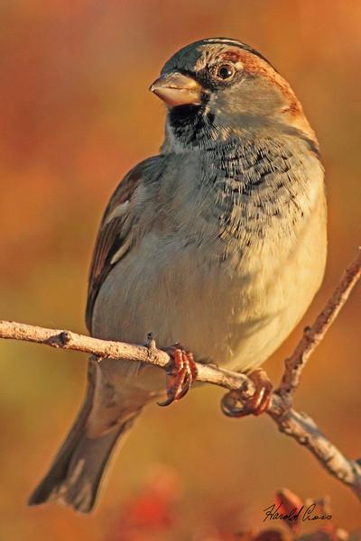 A House Sparrow taken Nov. 2, 2010 near Fruita, CO.
