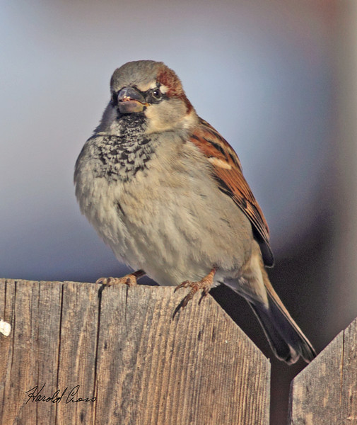A  House Sparrow taken Jan 8, 2010 in Fruita, CO.