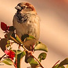 A  House Sparrow taken Jan 25, 2010 in Phoenix, AZ.