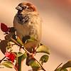 A  House Sparrow taken Jan 25, 2010 in Phoenix, AZ.