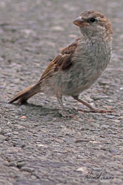 A House Sparrow taken Jun 7, 2010 near Fruita, CO.
