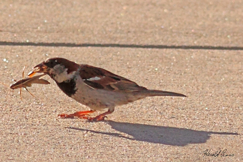 A House Sparrow taken Aug 11, 2010 near Denver, CO.