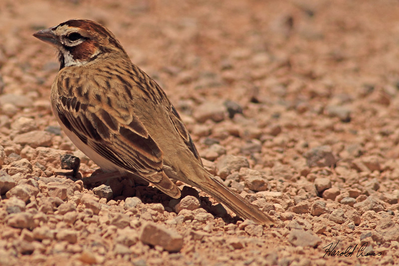A Lark Sparrow taken May 15, 2011 near Portales, NM.