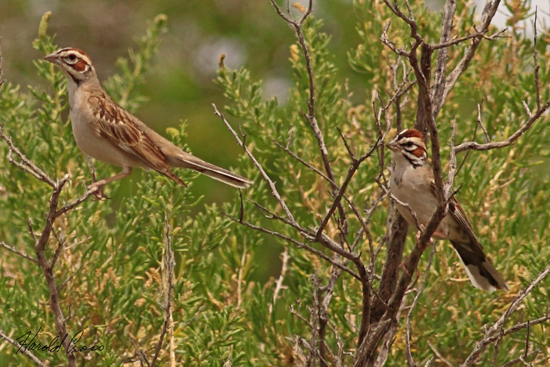 Lark Sparrows taken Jun 11, 2010 near Fruita, CO.