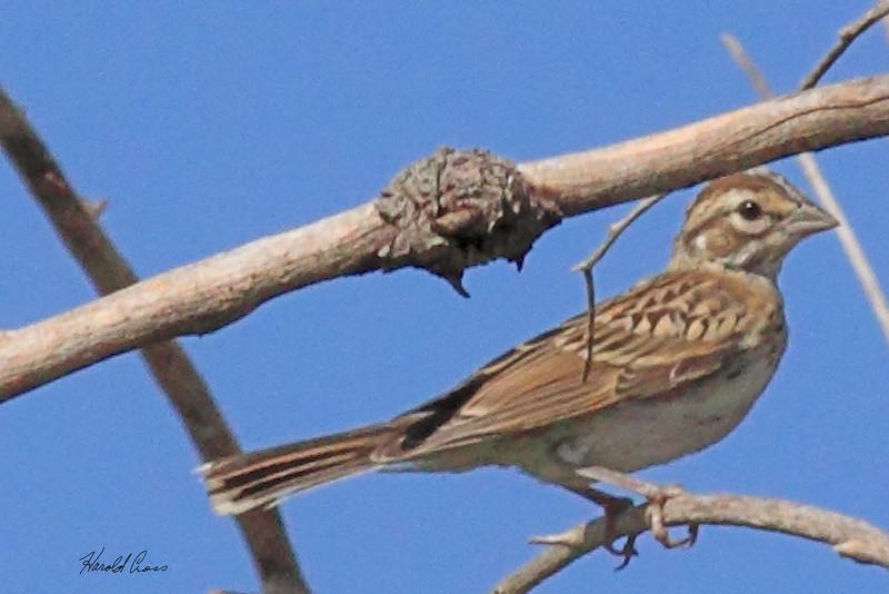 A Lark Sparrow taken July 25, 2010 near Portales, NM.