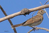 A Lark Sparrow taken July 25, 2010 near Portales, NM.