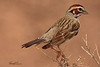 A Lark Sparrow taken Jun 11, 2010 near Fruita, CO.
