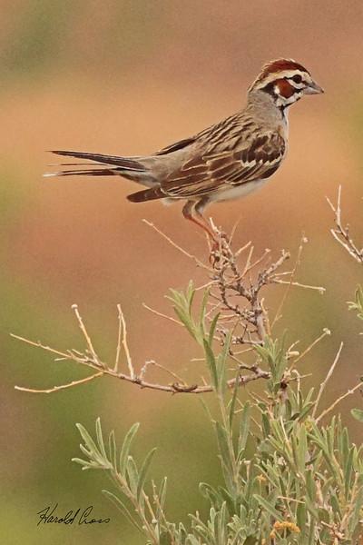 A Lark Sparrow taken Jun 11, 2010 near Fruita, CO.