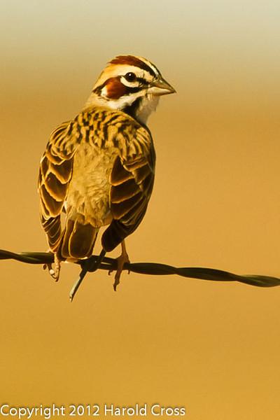 A Lark Sparrow taken April 28, 2012 near Portales, NM.