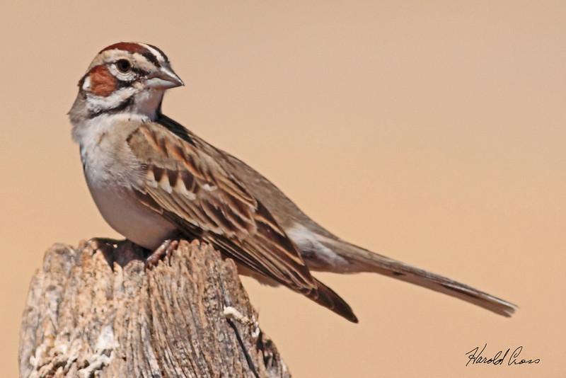 A Lark Sparrow taken Jun 14, 2010 near Fruita, CO.