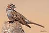 A Lark Sparrow taken Jun 14, 2010 near Fruita, CO.