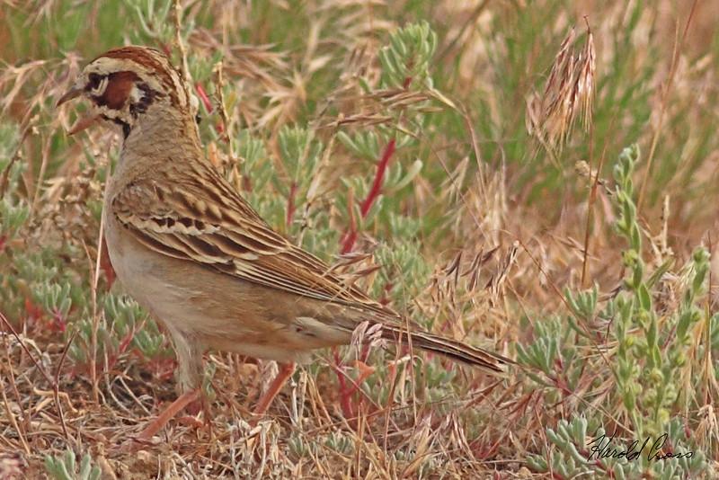 A Lark Sparrow taken Jun 9, 2010 near Fruita, CO.