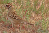 A Lark Sparrow taken Jun 9, 2010 near Fruita, CO.