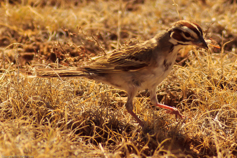 A  Lark Sparrow taken July 13, 2011 near Las Vegas, NM.