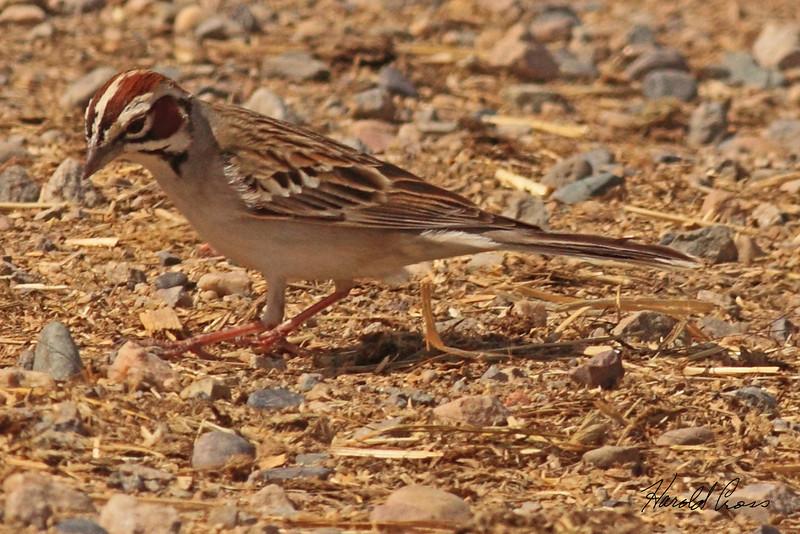 A Lark Sparrow taken May 18, 2010 near Fruita, CO.