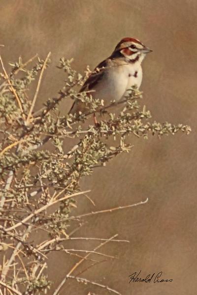 A Lark Sparrow taken April 27, 2011 near Fruita, CO.