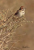 A Lark Sparrow taken April 27, 2011 near Fruita, CO.
