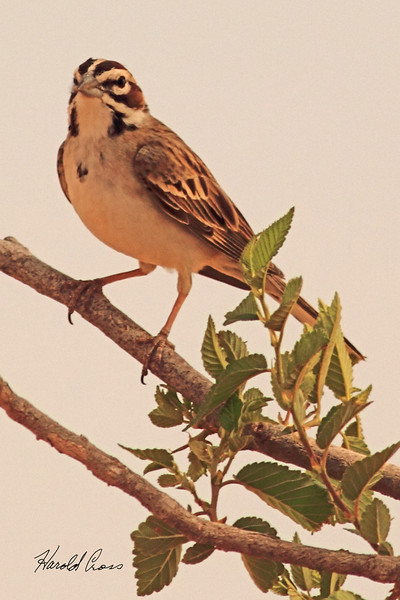 A Lark Sparrow taken May 15, 2011 near Portales, NM.