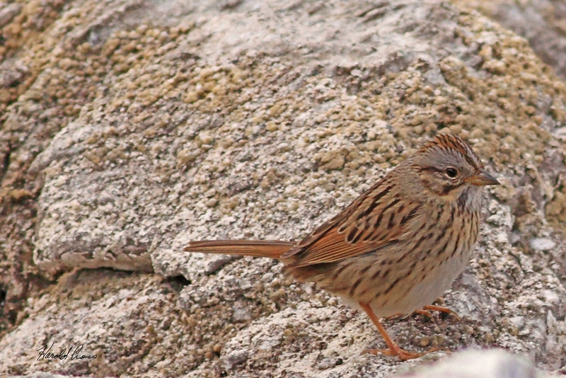 A Lincoln's Sparrow taken May 29, 2010 near West Yellowstone, MT.