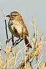 A Lincoln's Sparrow taken Jun 12, 2011 near Eureka, CA.