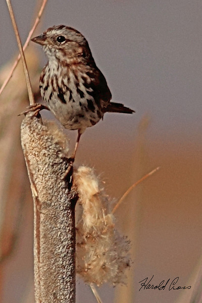 A Lincoln's Sparrow  taken Mar. 15, 2011 in Fruita, CO.