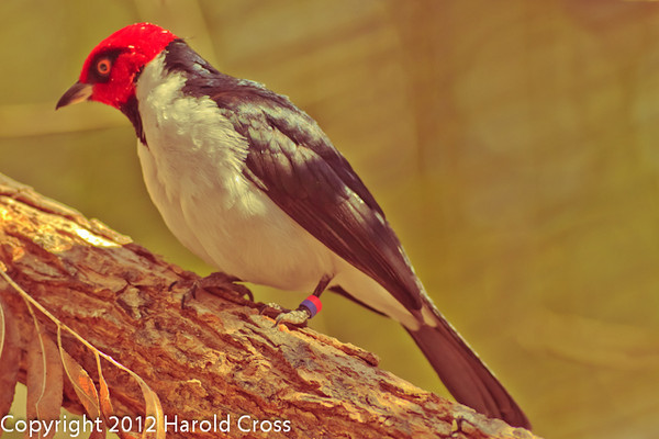 A Red-capped Cardinal taken Feb. 20, 2012 in Tucson, AZ.