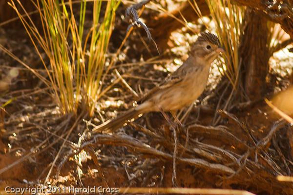 A Sage Sparrow taken Sep. 2, 2011 near Fruita, CO.