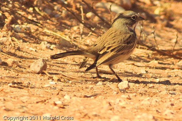 A Sage Sparrow taken Oct. 30, 2011 near Portales, NM.